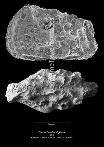 Dameriacella sigillata CN110 39-3
