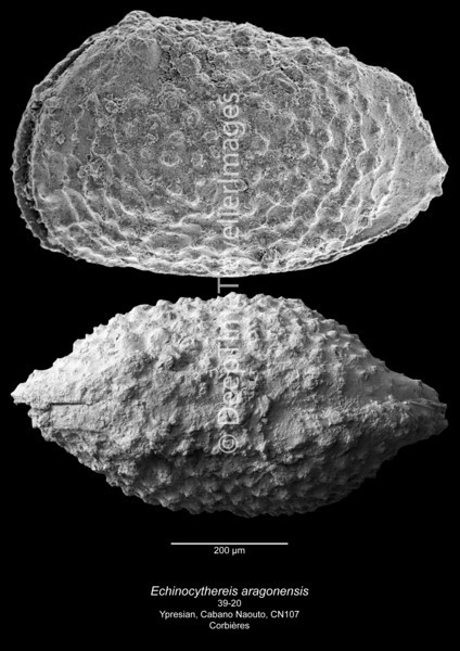 Echinocythereis aragonensis CN107 39-20