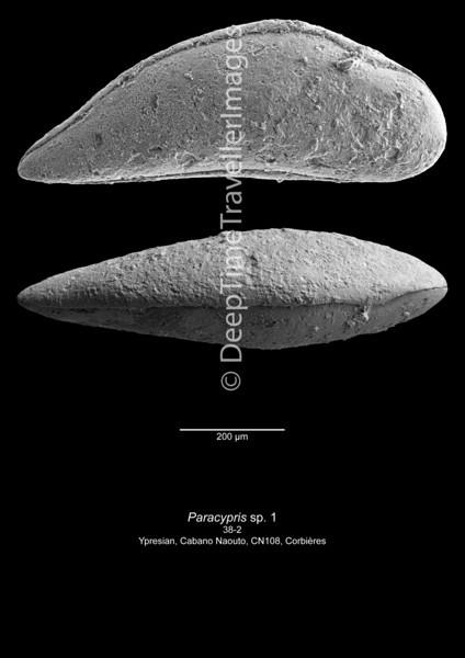 Paracypris sp  1 CN108 38-2