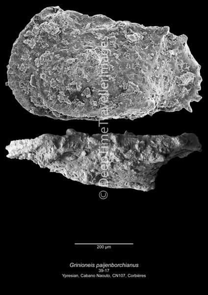 Grinioneis paijenborchianus CN107 39-17