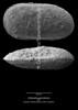 Cytherella gamardensis CN33 38-9
