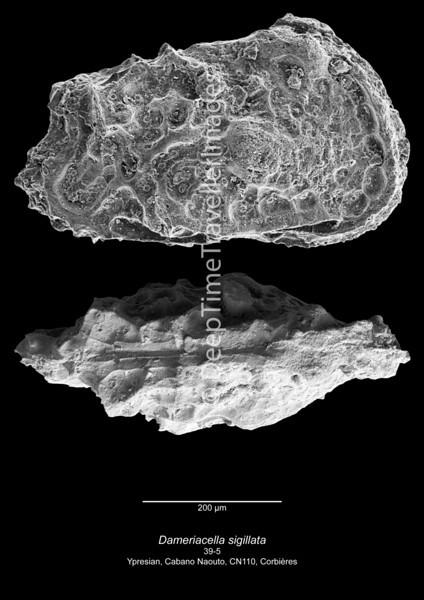 Dameriacella sigillata CN110 39-5