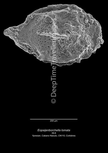 Eopaijenborchella lomata CN110 39-8