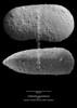 Cytherella gamardensis CN24 38-11