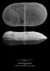 Cytherella gamardensis CN33 38-8