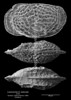 Loxoconcha cf subovata CN90 39-28