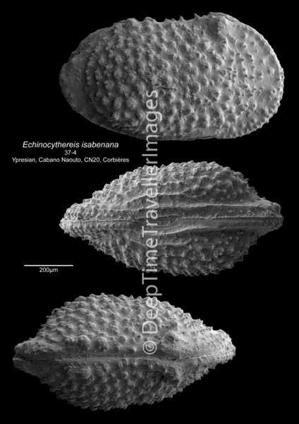 Echinocythereis isabenana 37-4