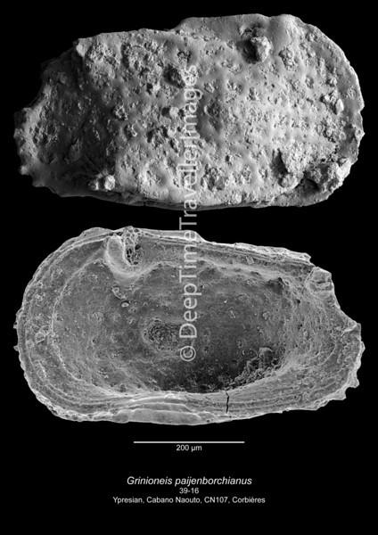 Grinioneis paijenborchianus CN107 39-16