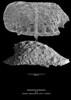 Kingmaina forbesiana CN111 39-2