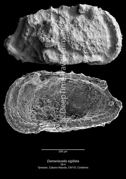 Dameriacella sigillata CN110 39-4