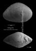 Bairdia crebra 37-7