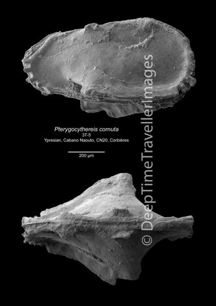 Pterygocythereis cornuta 37-5