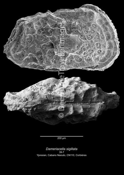 Dameriacella sigillata CN110 39-7