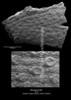 Bryozoa indet CN29 38-59