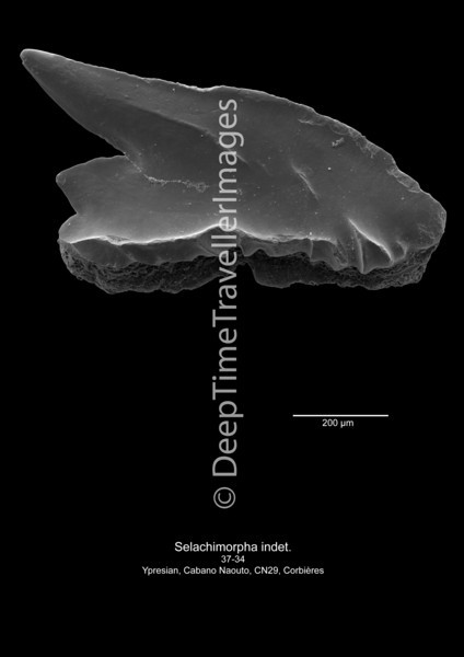 Selachimorpha indet CN 29 37-34