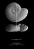 Thecosomata pteropod indet CN20 38-57