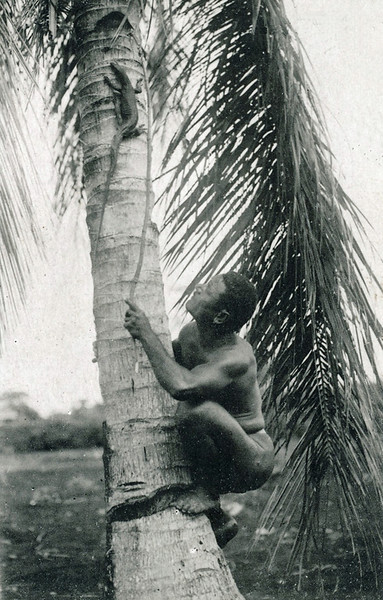 A man pursues a monitor lizard up a palm tree on Saipan, about 1920.