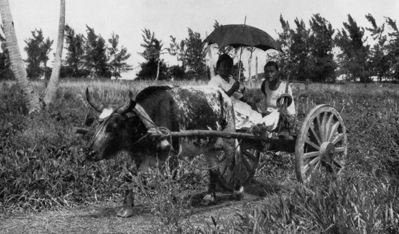 Caribou-cart transportation on Saipan, 1921 (Junius B.Wood)