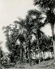 Pohnpei, 1899:  Photograph by Henry Clifford Fassett showing a group of vegetable-ivory palm trees