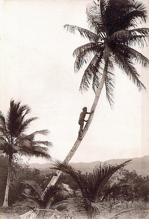 Man climbing a palm tree on Saipan, about 1920
