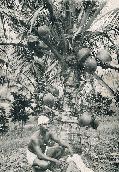Young Pohnpeian man kneeling in front of a short coconut tree (photo from the period of Japan's South Seas Mandate)