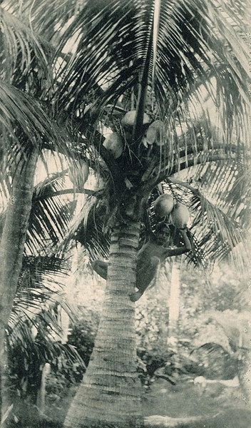 In a photo shot that never grows old, a young boy on Yap climbs a coconut palm, around 1920.