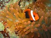 A Red and Black Anemonefish hanging out by it's bright orange anemone (though underwater it appeared MAGENTA!)