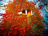 Gotta love the colorful and quirky anemone fish.....I could spend hours just watching them dart in and out, out and around....
