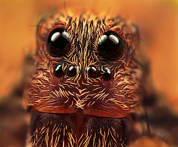 "Frontal portrait wolf spider, made with magnification 10, f/6.4, ISO 100 and 1/250 sec. using a Canon 7D, a Canon MP-E 65 mm f/2.8 and a Canon 2x teleconverter.  Wolf spiders are members of the family Lycosidae, from the Ancient Greek word ""λύκος"" meaning ""wolf"". They are robust and agile hunters with excellent eyesight. They live mostly solitary lives and hunt alone. Some are opportunistic hunters pouncing upon prey as they find it or even chasing it over short distances. Some will wait for passing prey in or near the mouth of a burrow (source: Wikipedia)."