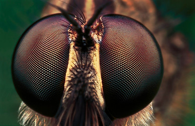 A frontal portrait of a large robber fly. The picture has been made with magnification factor 6 and f/13, using a Canon 7D and the Canon macrolens MP-E 65mm/f2.8.  Insects in the Diptera family Asilidae are commonly called robber flies. The family Asilidae contains about 7,100 described species worldwide.  All robber flies have stout, spiny legs, a dense moustache of bristles on the face (mystax), and 3 simple eyes (ocelli) in a characteristic depression between their two large compound eyes. The mystax helps protect the head and face when the fly encounters prey bent on defense. The antennae are short, 3-segmented, sometimes with a bristle-like structure called an arista. The short, strong proboscis is used to stab and inject victims with saliva containing neurotoxic and proteolytic enzymes which paralyze and digest the insides; the fly then sucks the liquefied meal through the proboscis. Many species have long, tapering abdomens, sometimes with a sword-like ovipositor. Others are fat-bodied bumblebee mimics. Adult robber flies attack other flies, beetles, butterflies and moths, various bees, ants, dragon and damselflies, Ichneumon wasps, grasshoppers, and some spiders (source: Wikipedia).
