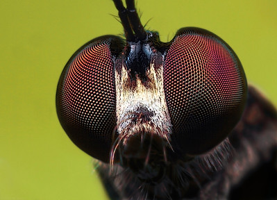 A frontal portrait of a robber fly. The picture has been made with magnification factor 6 and f/13, using a Canon 7D and the Canon macrolens MP-E 65mm/f2.8.  Insects in the Diptera family Asilidae are commonly called robber flies. The family Asilidae contains about 7,100 described species worldwide.  All robber flies have stout, spiny legs, a dense moustache of bristles on the face (mystax), and 3 simple eyes (ocelli) in a characteristic depression between their two large compound eyes. The mystax helps protect the head and face when the fly encounters prey bent on defense. The antennae are short, 3-segmented, sometimes with a bristle-like structure called an arista. The short, strong proboscis is used to stab and inject victims with saliva containing neurotoxic and proteolytic enzymes which paralyze and digest the insides; the fly then sucks the liquefied meal through the proboscis. Many species have long, tapering abdomens, sometimes with a sword-like ovipositor. Others are fat-bodied bumblebee mimics. Adult robber flies attack other flies, beetles, butterflies and moths, various bees, ants, dragon and damselflies, Ichneumon wasps, grasshoppers, and some spiders (source: Wikipedia).