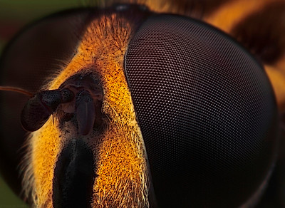 """Detail head of a female dronefly, made with magnification factor 6 and f/14, using a Canon 7D, a Canon macro lens MP-E 65 mm/f2.8 and a Canon 2x teleconverter. It is a single picture, made in our garden whille the dronefly was doing it own business.  Eristalis tenax is a European hoverfly, also known as the drone fly (or """"dronefly""""). It has been introduced into North America and is widely established. The larva of E. tenax is a rat-tailed maggot. It lives in drainage ditches, pools around manure piles, sewage, and similar places containing water badly polluted with organic matter. The larva likely feeds on the abundant bacteria living in these places. When fully grown, the larva creeps out into drier habitats and seeks a suitable place to pupate. In doing so it sometimes enters buildings, especially barns and basements on farms. The pupa is 10–12 mm long, grey-brown, oval, and retains the long tail; it looks like a tiny mouse.  The adult fly that emerges from the pupa is harmless. It looks somewhat like a drone honey bee, and likely gains some degree of protection from this resemblance to a stinging insect. The adults are called drone flies because of this resemblance. Like other hover flies, they are common visitors to flowers, especially in late summer and autumn, and can be significant pollinators.  In its natural habitat, E. tenax is more of a curiosity than a problem, and the adults are beneficial pollinators (source: Wikipedia)."""
