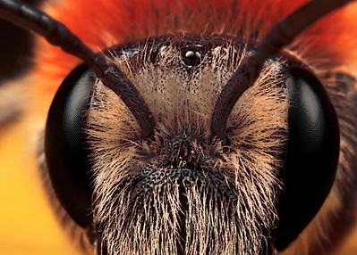 Detail head red mason bee  (osmia rufa), made with magnification factor 6 and f/14. It is a single picture made in our garden, using a Canon 7D,  a Canon MP-E 65 mm f/2.9 and a Canon 2x teleconverter. The bee was alive and kicking.  Osmia rufa is a species of solitary bee, also known as the red mason bee due to its habit of using mud to build small cavities within its nest.  The species is most active during the spring and early summer although it can be seen as far as late June. Despite being classed as solitary, these bees are gregarious. The female is larger/broader than the male and has 2 large horns on the head.The female has a much smaller sting than honeybees or wasps.The male has no sting. The size is around 10 mm (source Wikipedia).