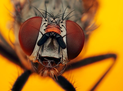 Portrait of flesh fly, made with magnification 8 and f/10 using a Canon 7D, a Canon macrolens MP-E 65mm/f2.8 and a Canon 2x teleconverter.  True flies are insects of the order Diptera (from the Greek di = two, and ptera = wings). They possess a pair of wings on the mesothorax and a pair of halteres, derived from the hind wings, on the metathorax. Diptera is a large order, containing an estimated 240,000 species of mosquitoes, gnats, midges and others, although under half of these (about 120,000 species) have been described. It is one of the major insect orders both in terms of ecological and human (medical and economic) importance (source: Wikipedia)