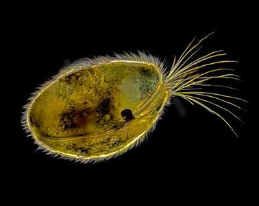 Ostracoda, 20x focus stack