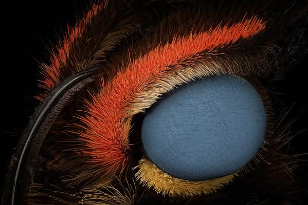 Giant Blue Morpho (Morpho didius)