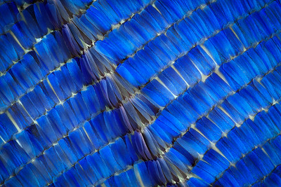 Giant Blue Morpho Scales