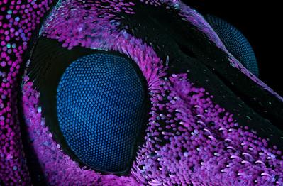 Weevil (Eupholus schoenherri)