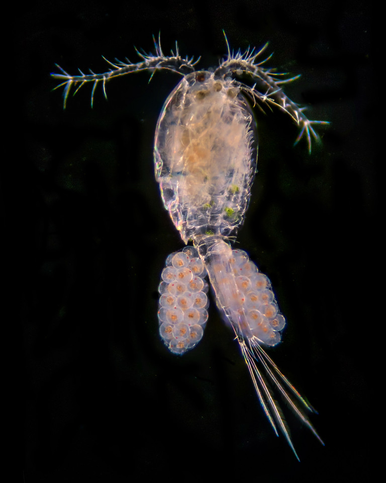 Cyclops, adult female with eggs, 64x