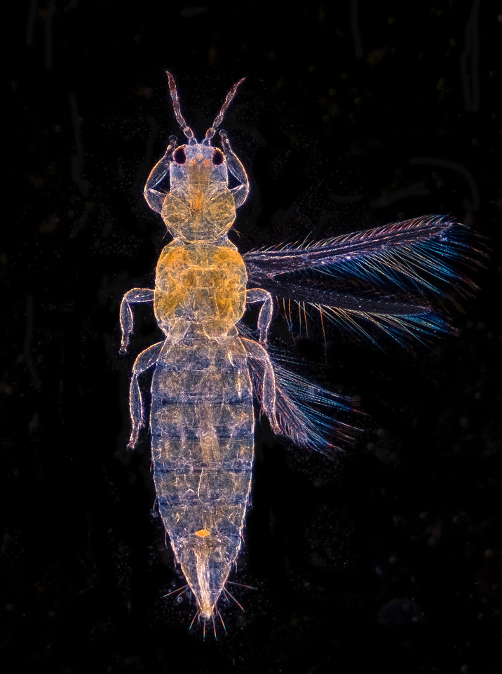 Small insect, 4x darkfield