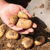 Hand holding fresh potatoes