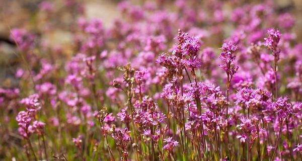 Beautiful field of purple flowers