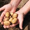 Hands holding fresh potatoes