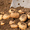 Fresh potatoes in the ground
