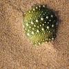 Sea-Urchin shell in sand