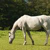White horse feeding
