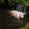 White or bengal tiger in water