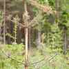 Pine tree eaten by moose