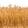 Panorama of a wheat crop