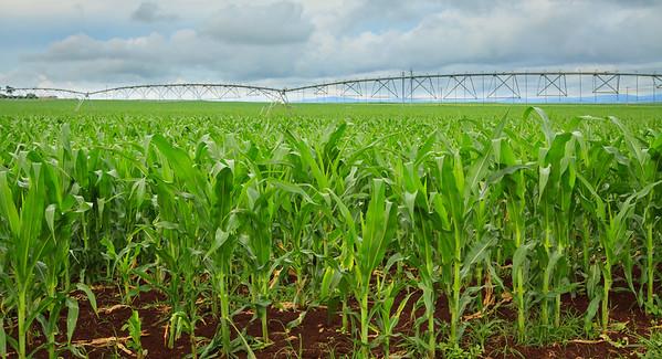 Sweet corn crop in Australia